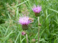 Melancholy Thistle Cirsium helenioides