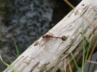 Common dater, male (Sympetrum striolatum)
