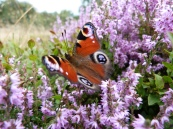 Wild and cultivated heather varieties
