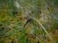 Black darter, Immature male (Sympetrum danae)