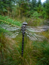 Common hawker, newly emerged female (Aeshna juncea)