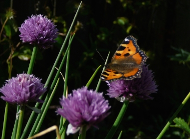 Chives (Allium schoenoprasum), with Small tortoiseshell (Aglais urticae)